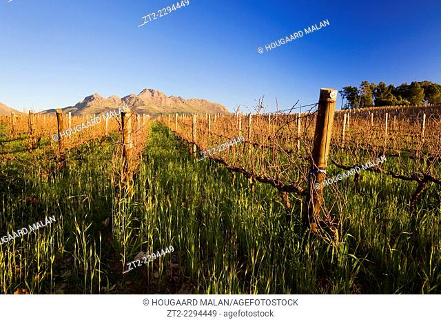 Landscape photo of bare vineyards on a clear winter day. Stellenbosch, Western Cape, South Africa