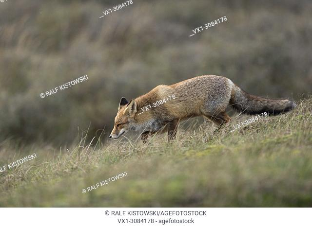 Red Fox ( Vulpes vulpes ) hunting in open grassland, typical environment, side view, wildlife, Europe