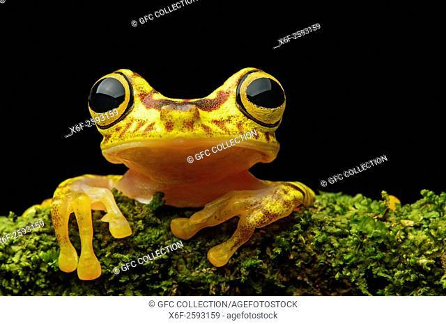 Imbabura Treefrog (Hypsiboas pictuator), Treefrog family (Hylidae), Choco rainforest, Ecuador
