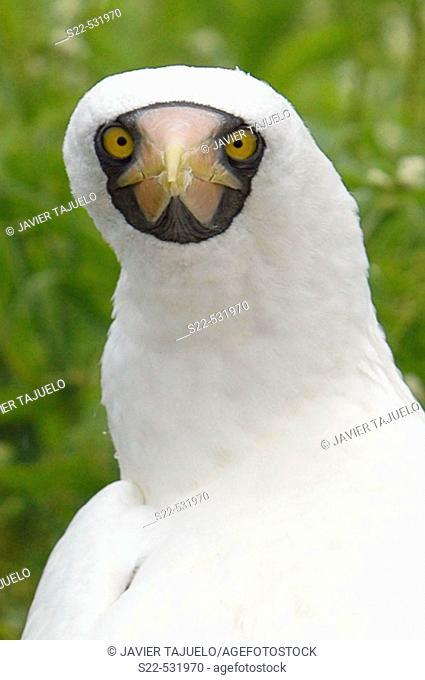 Masked Booby, (Sula dactylatra)