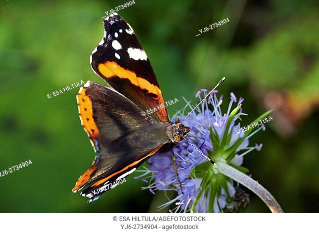 Vanessa atalanta, Red Admiral butterfly