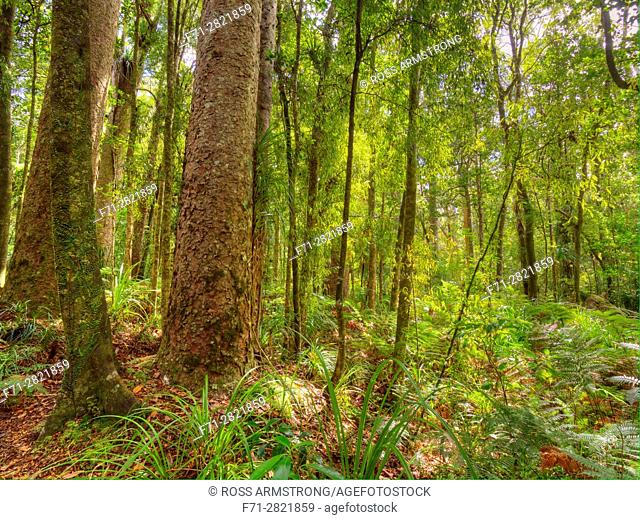Agathis australis, commonly known as the kauri, is a coniferous tree found north of 38°S in the northern districts of New Zealand's North Island It is the...