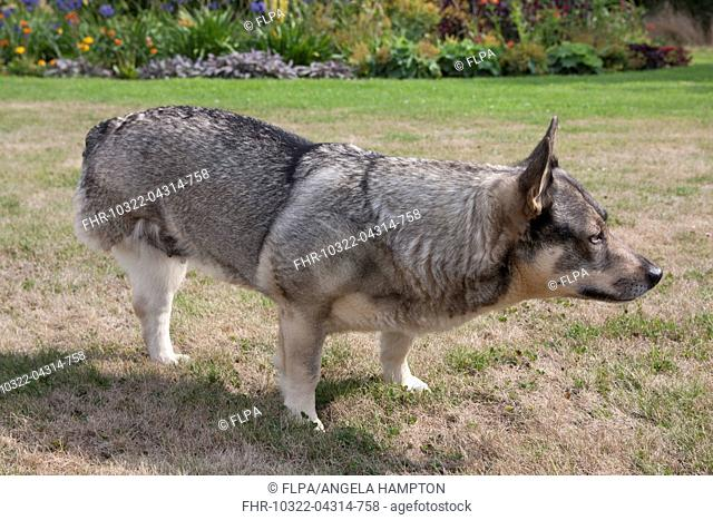 Domestic Dog, Swedish Vallhund, adult female, amputee with back leg missing, standing on garden lawn, England, August