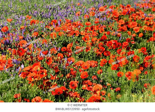 common poppy, corn poppy, red poppy Papaver rhoeas, blooming plants together with hairy vetch, Spain