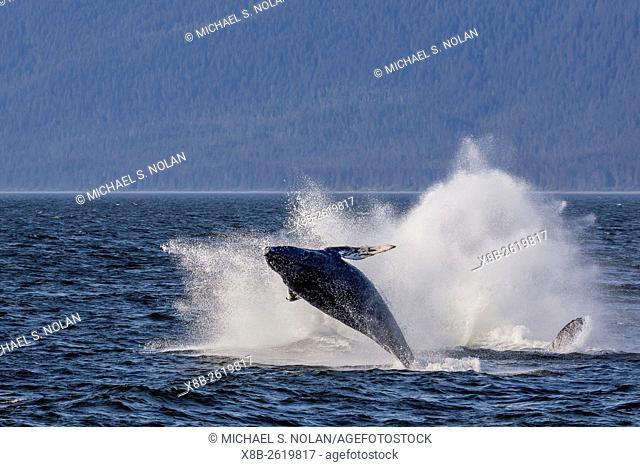 Humpback whale calf, Megaptera novaeangliae, breaching near its mother in Icy Strait, southeast Alaska, USA
