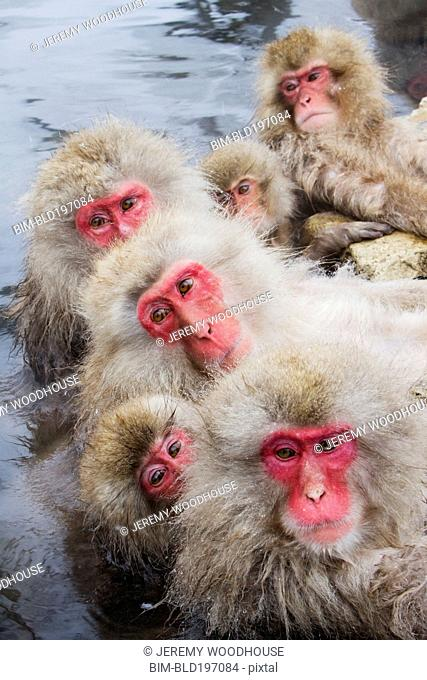 Japanese macaques huddled together in water