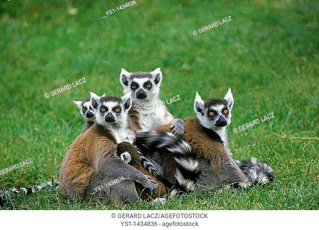 RING TAILED LEMUR lemur catta, GROUP OF ADULTS STANDING ON GRASS