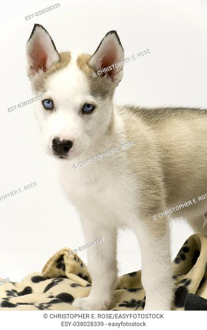 Fluffy young Husky dog puppy with piercing blue eyes poses near his blanket