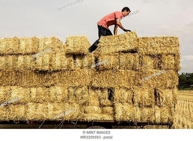Farmer baling straw, standing on trailer on top of stack of straw bales