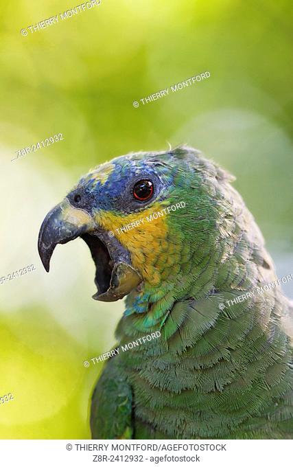 Amazona amazonica. Portrait of an orange-winged amazon. Salvation islands. French Guiana