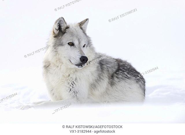 Gray Wolf ( Canis lupus ) in winter, lying, resting in snow, nice winter fur, watching aside, amber golden eyes, captive, Yellowstone area, Montana, USA