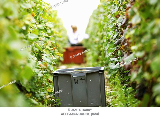 France, Champagne-Ardenne, Aube, plastic bin between two rows of grapevines in vineyard