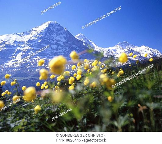 Eiger north face, Eiger, flower meadow, flowers, scenery, landscape, mountains, Alps, Bernese Oberland, Canton Bern, S