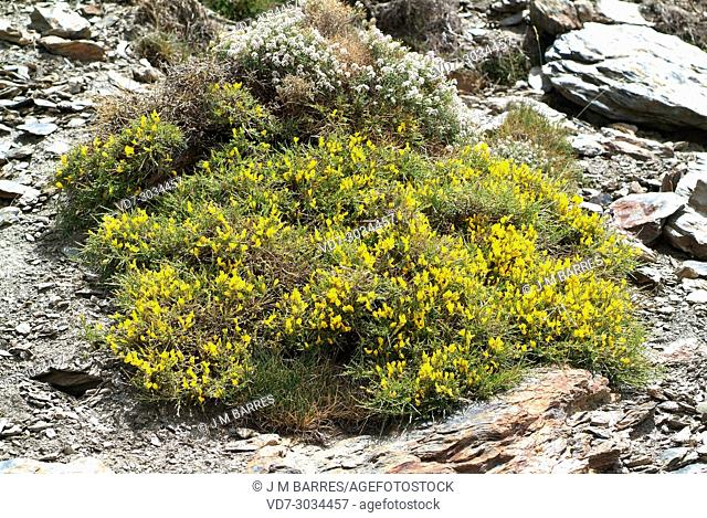 Cytisus galianoi is a cushion-like shrub endemic to Sierra Nevada and Sierra de los Filabres. This photo was taken in Sierra Nevada National Park