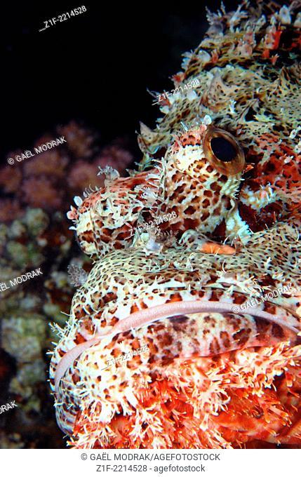 Smallscale scorpionfish's close-up in Red sea, Safaga, Egypt. Scorpaenopsis oxycephalu
