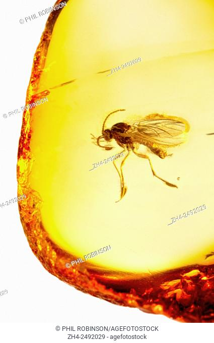 Prehistoric fly (c40-50m years old) preserved in Baltic amber from Kalingrad region, Russia. Insect 3-4mm long