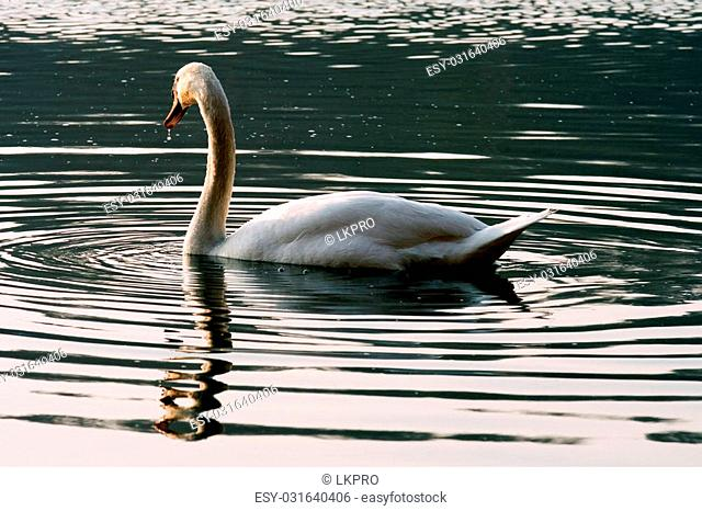 italy green side of little white swan black eye in the river ticino