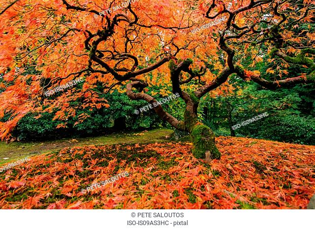 Japanese maple with fallen red autumn leaves and twisted trunk