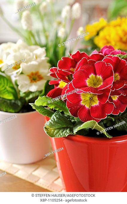 Primroses Primula vulgaris syn  Primula acaulis