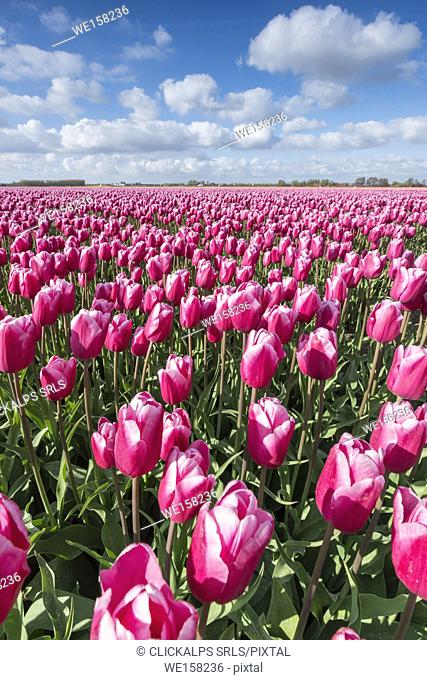 Pink and white tulips and clouds in the sky. Yersekendam, Zeeland province, Netherlands