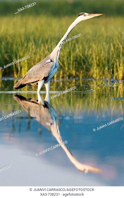 Grey heron , Ardea cinerea , mirrored at lagoon