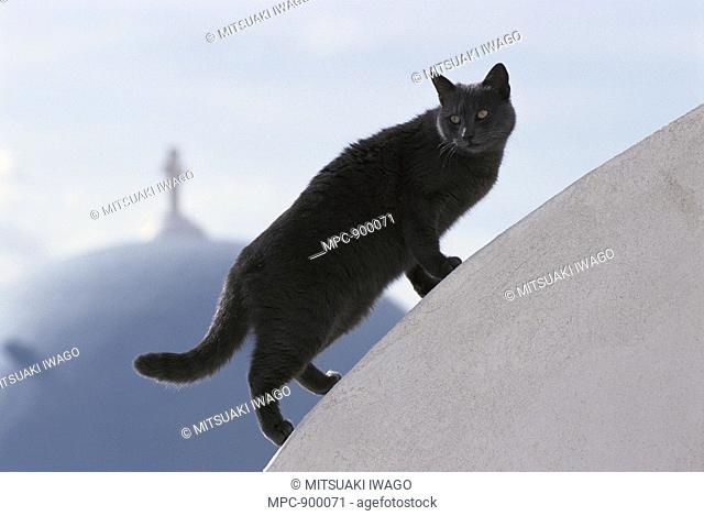 Domestic Cat Felis catus, grey adult walking on white-washed dome, Greece