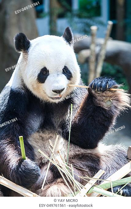 Giant panda eating bamboo close up view