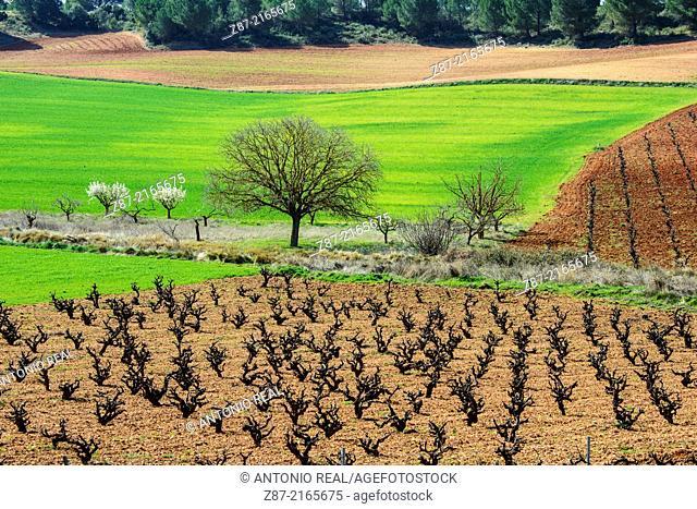 Vineyards, Hontecillas, Cuenca province, Castilla-La Mancha, Spain