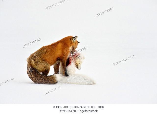 Red fox (Vulpes vulpes), preying upon an Arctic Fox (Alopex lagopus), Wapusk NP, Cape Churchill, Manitoba, Canada
