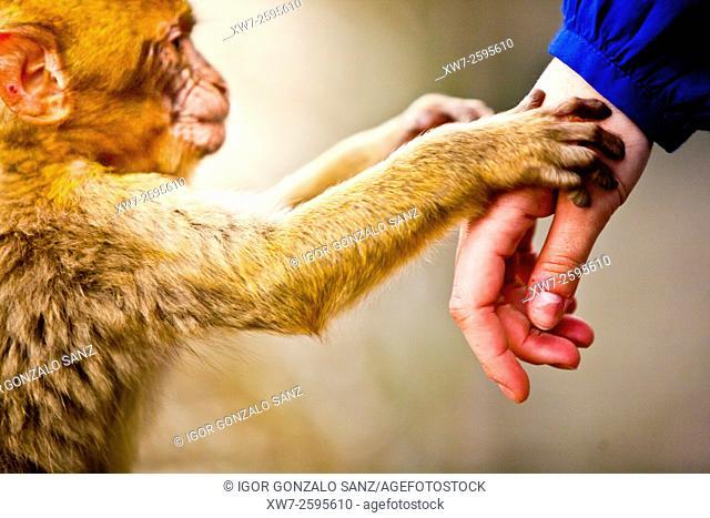 Monkeys of the Rock of Gibraltar (Iberian Peninsula, England - Spain, Europe)