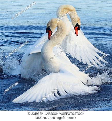 Mute swans, Horborgarsjon Vastergotlans Sweden