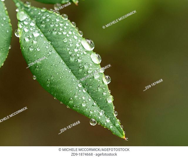 Raindrops collect on leaves on a wintry day