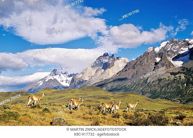 Guanaco Lama guanicoe herd with the landmark Cuernos del Paine in the background , Chile   Guanaco is a camelid and closely related to the domestic Lama and...