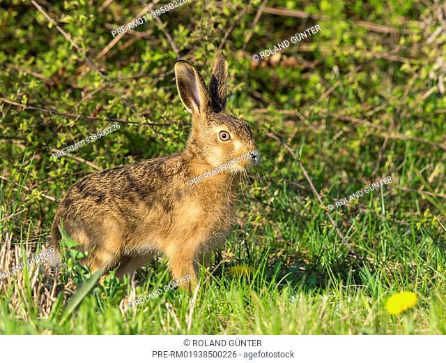 Young European Hare, Lepus europaeus / Junger Feldhase, Lepus europaeus