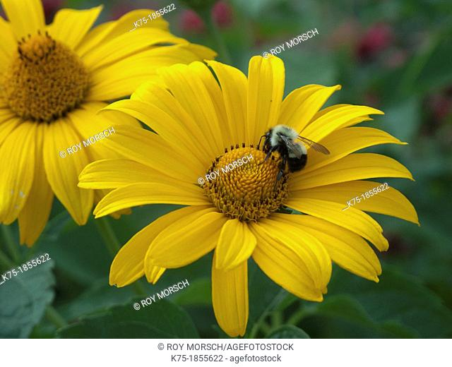 Two yellow coneflowers with bee