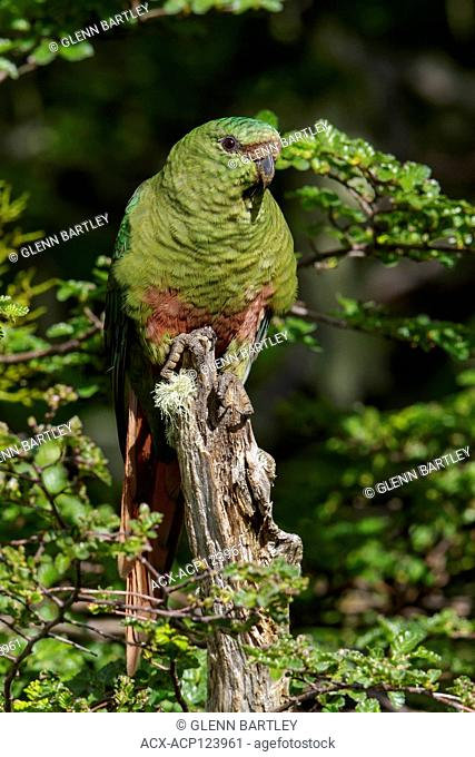 Austral Parakeet (Enicognathus ferrugineus) perched on a branch in Chile