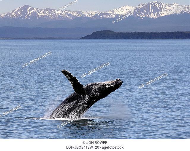 USA, Alaska, Icy Straits Point. Humpback whale breaching off Icy Straits Point in Alaska