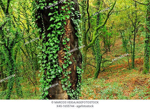 Deciduous forest  Galicia, Spain