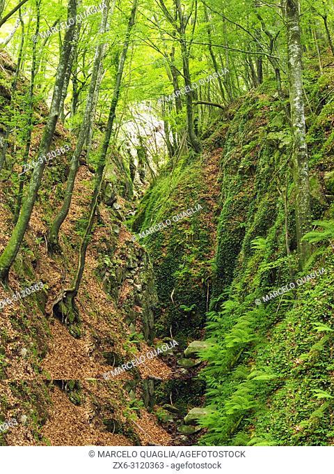 Sot de Boixaus stream. Beech forest (Fagus sylvatica). Montseny Natural Park. Barcelona province, Catalonia, Spain