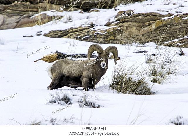 Bighorn Sheep (Ovis canadensis) Males. Wildlife of Yellowstone Park at Lamar Valley Mammoth Falls , Wyoming USA