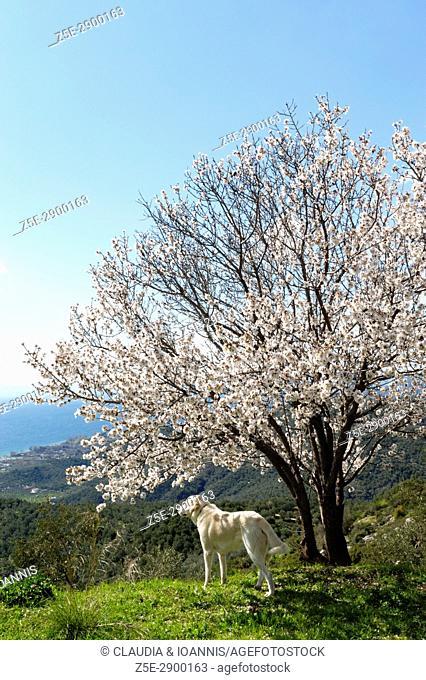 A white labrador retriever standing beneath a blossoming almond tree on Pelion Peninsula, Thessaly, Greece