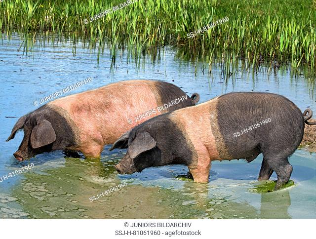 Domestic Pig (Sus scrofa domestica), breed: Angeln Saddleback, two individuals standing in a pond drinking