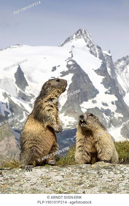 Alpine marmots (Marmota marmota) couple calling in front of the snow covered mountain Grossglockner, Hohe Tauern National Park, Carinthia, Austria