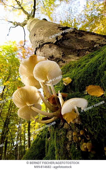 Primeval beech forest, trunk of beech with mushrooms (Oudemansiella mucida), colours of autumn, Steigerwald, Bavaria, Germany