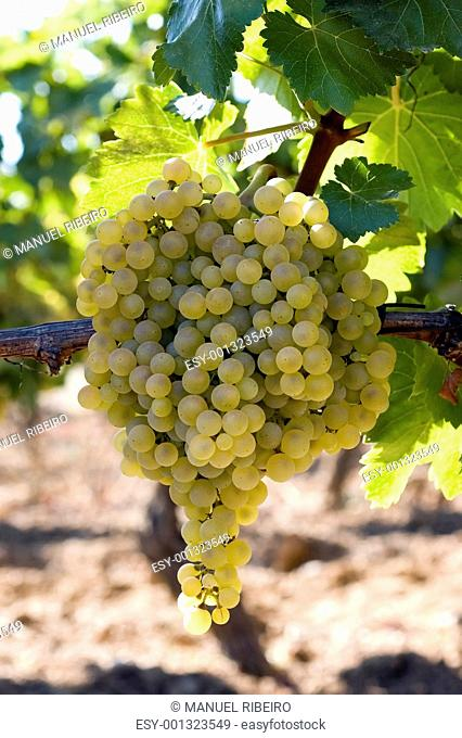 Bunch of white grapes on vine