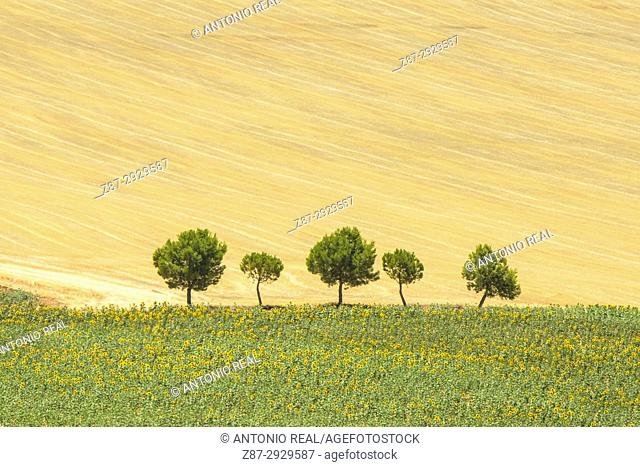 Cereal and sunflower fields. La Hinojosa. La Mancha. Cuenca province. Spain