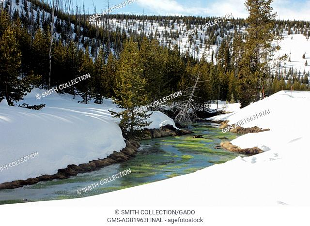 Warm springs spike-rush growing in Obsidian Creek, Yellowstone National Park, Wyoming, February, 2015. Image courtesy Diane Renkin/Yellowstone National Park