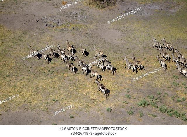 Aerial view of plains zebras, (Equus quagga), Okavango Delta, Botswana. The Okavango Delta is home to a rich array of wildlife
