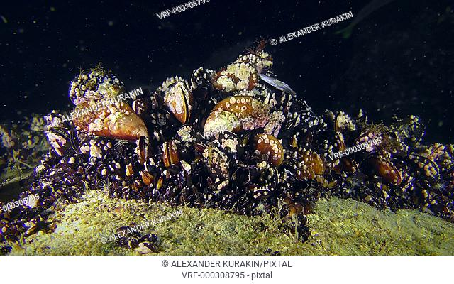 The colony of Mussel (Mytilus sp.) covered with fouling on a dark background