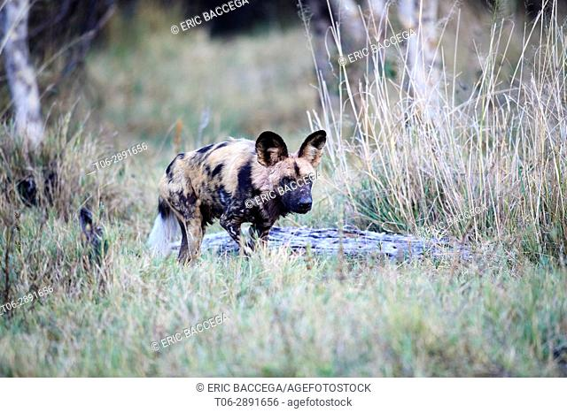 African wild dog (Lycaon pictus) walking through grassland. Moremi National Park, Okavango delta, Botswana, Southern Africa